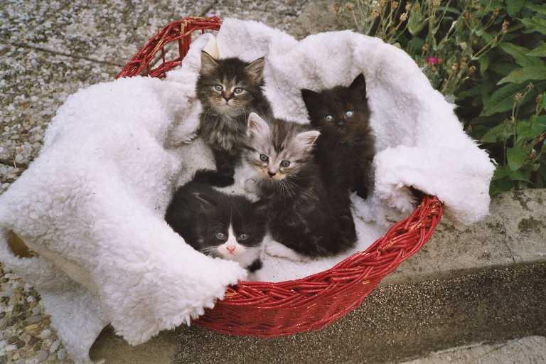 Siberians Kitten 2003