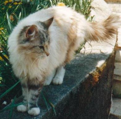 In.Ch.Cindarella Neva Katze